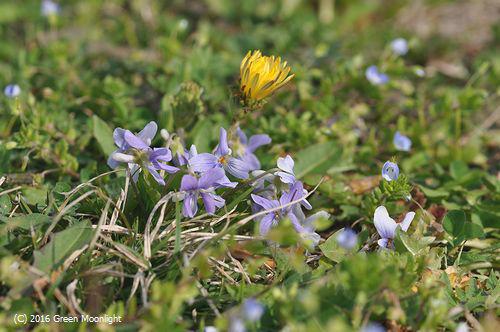 草原のコスミレ