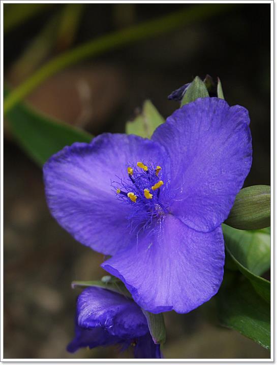 P1000239 ムラサキツユクサ(紫露草)