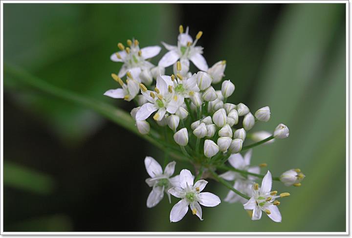 P9050169 ニラの花