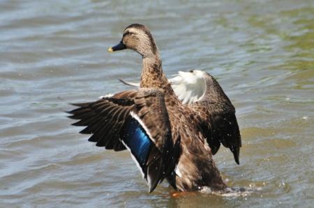 hybrid-male-wing
