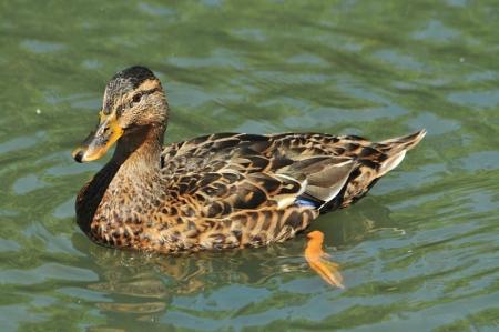 mallard-female-summer