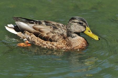 mallard-male-summer
