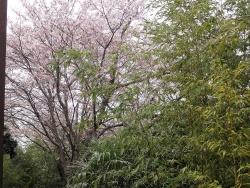 桜の花びらが20160408-1