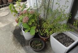庭と鉢に水まき20160730ー2