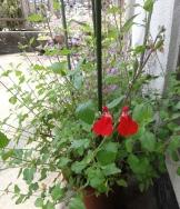 庭の花20160502-2