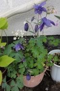 庭の花20160502-3