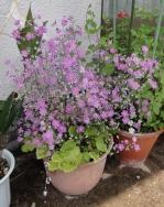 庭の花20160502-6