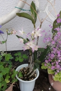 庭の花20160502-7