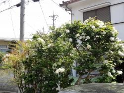 庭の花20160502-9