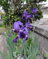 庭の花20160419