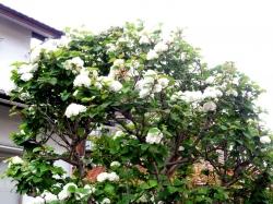 庭の花20160426-2