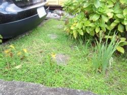 花壇の草取り20160830am-1