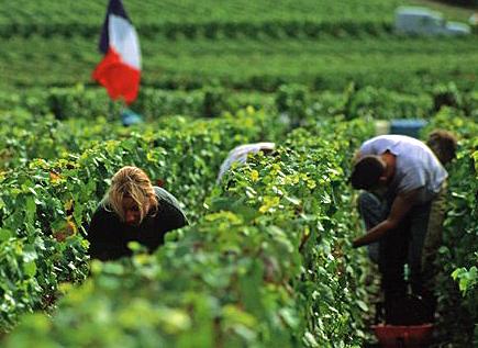 シャンパーニュ収穫開始