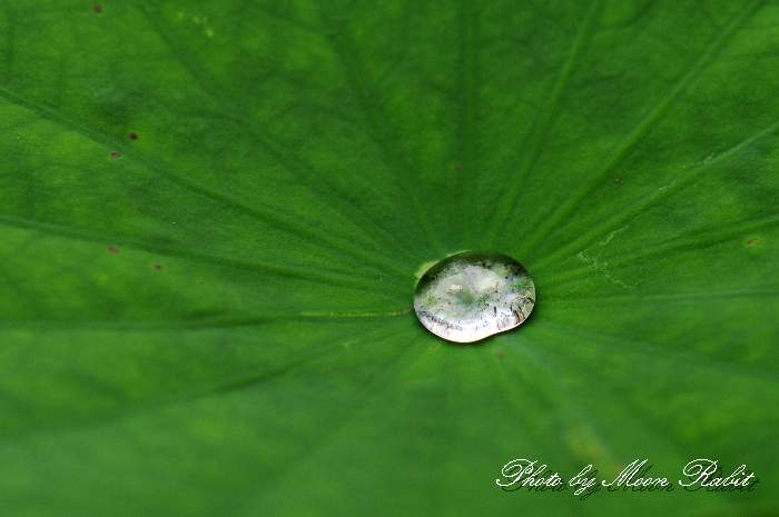 蓮の葉の水滴