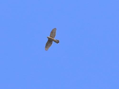 NN7A0541萩谷公園 オオタカ幼鳥_convert_20161010205217