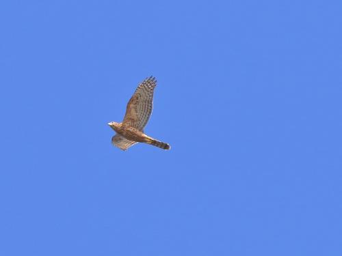 NN7A0308伊良湖岬 オオタカ幼鳥_convert_20161016204423