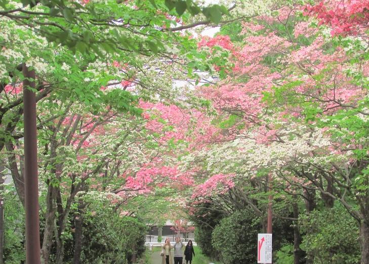 hanamizuki160424-106.jpg
