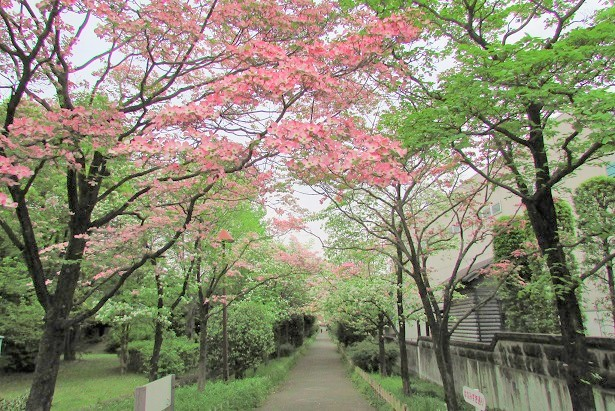 hanamizuki160424-107.jpg