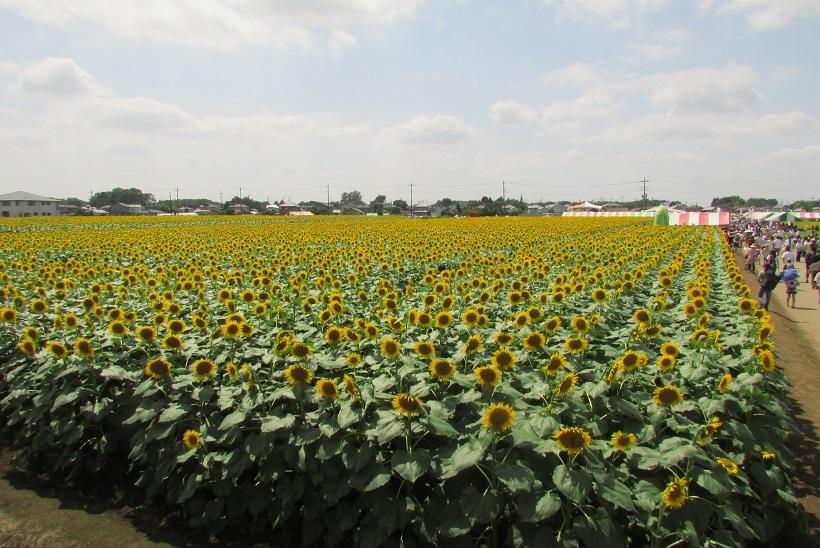 nogi-himawari160724-101.jpg