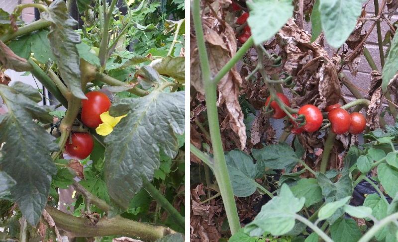 tomato16.jpg