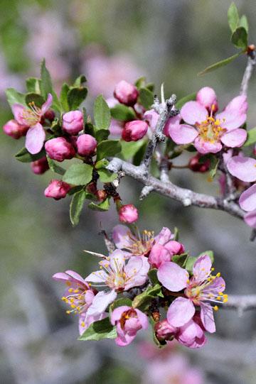 blog 12 395S near Olancha, Mountain Peach, CA_DSC2435-4.6.16.(2).jpg