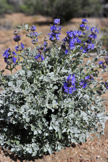 blog 12 395S near Olancha, Desert Sage-Purple Sage, (Salvia dorrii), Sierra Nevada, CA_DSC2533-4.6.16.(2).jpg