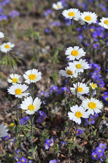 blog 12 395S near Olancha, Madia & Desert Trumpet?, CA_DSC2488-4.6.16.(2).jpg