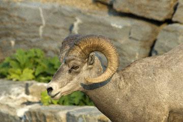 blog TAKE 88 Glacier NP, Apgar to Logan Pass (2,026m), Bighorn Sheep (Ovis canadensis), MT_26361-8.1.07.jpg