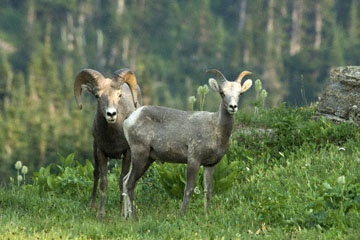 blog TAKE 88 Glacier NP, Apgar to Logan Pass (2,026m), Bighorn Sheep (Ovis canadensis), MT_26365-8.1.07.jpg