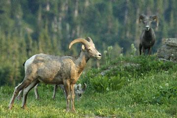 blog TAKE 88 Glacier NP, Apgar to Logan Pass (2,026m), Bighorn Sheep (Ovis canadensis), MT_26363-8.1.07.jpg