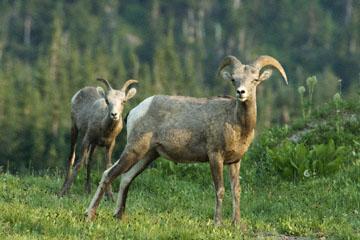 blog TAKE 88 Glacier NP, Apgar to Logan Pass (2,026m), Bighorn Sheep (Ovis canadensis), MT_26362-8.1.07.jpg