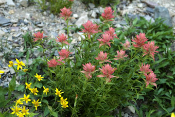 blog TAKE 89 Glacier NP, Apgar to Logan Pass (2,026m) to Sieh Blad, Scarlet Indian Paintbrush (Castilleja miniata), MT_26411-8.1.07.jpg