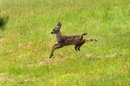 blog (6x4@240) 113 Mendocino, New born Deer_DSC5849-6.5.16.jpg
