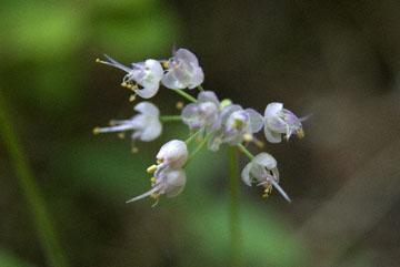 blog TAKE 90 Waterton Lakes NP, Nodding Onion-Lady's Leek (Allium cernuum), Canada_26518-8.2.07.jpg