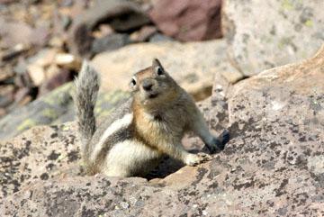 blog TAKE 90 Waterton Lakes NP, Lower Rowe Lake, Golden-Mantled Ground Squirrel (Callospermophilus lateralis), Canada_26538-8.2.07.jpg