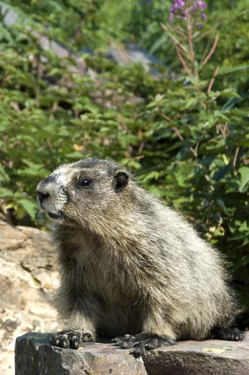 blog TAKE 90 Waterton Lakes NP, Lower Rowe Lake, Hoary Marmot (Marmota caligata) 2, Canada_26543-8.2.07.jpg