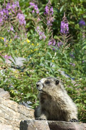 blog TAKE 90 Waterton Lakes NP, Lower Rowe Lake, Hoary Marmot (Marmota caligata) 2, Canada_26541-8.2.07.jpg