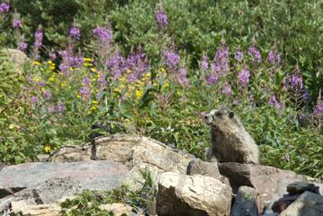 blog TAKE 90 Waterton Lakes NP, Lower Rowe Lake, Hoary Marmot (Marmota caligata), Canada_26540-8.2.07.jpg