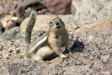 blog TAKE 90 Waterton Lakes NP, Lower Rowe Lake, Golden-Mantled Ground Squirrel (Callospermophilus lateralis), Canada_26539-8.2.07.jpg
