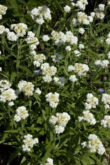 blog TAKE 90 Waterton Lakes NP, Pearly Everlasting (Anaphalis margaritacea), Canada_26555-8.2.07.jpg