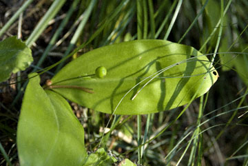 blog TAKE 90 Waterton Lakes NP, Queen Cup (Clintonia uniflora), Canada_26572-8.2.07.jpg