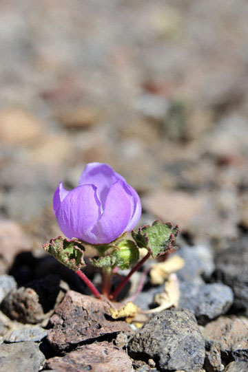 blog 4 Lone Pine, Alabama Hills, Desert Five-Spot (Eremalche rotundifolia), CA_DSC1364-4.1.16.(2).jpg