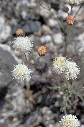 blog 4 Lone Pine, Alabama Hills, Desert Pincushion (Chaenactis stevioides), CA_DSC1335-4.1.16.(2).jpg