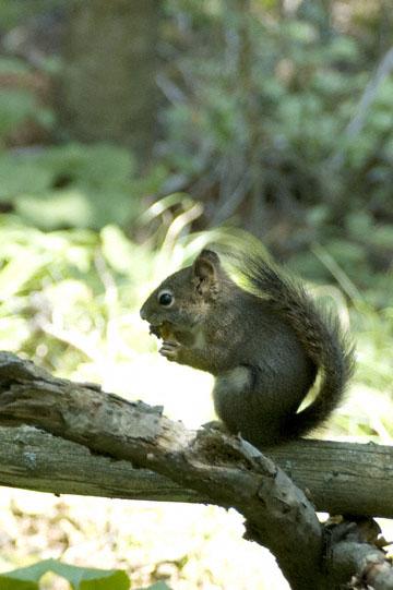 blog TAKE 90 Waterton Lakes NP, Lower Rowe Lake, American Red Squirrel (Tamiasciurus hudsonicus), Canada_26591-8.2.07.jpg