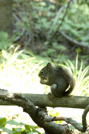 blog TAKE 90 Waterton Lakes NP, Lower Rowe Lake, American Red Squirrel (Tamiasciurus hudsonicus), Canada_26586-8.2.07.jpg