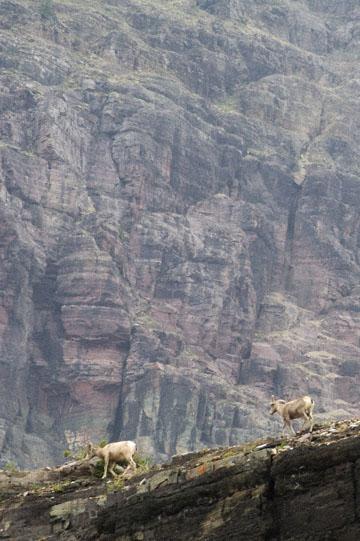 blog TAKE 91 Waterton Lakes NP, Logan Pass-Hidden Lake Nature Trail, Bighorn Sheep (Ovis canadensis) 2, Canada_26607-8.2.07.jpg