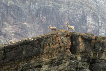 blog TAKE 91 Waterton Lakes NP, Logan Pass-Hidden Lake Nature Trail, Bighorn Sheep (Ovis canadensis), Canada_26605-8.2.07.jpg