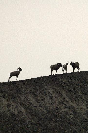 blog TAKE 91 Waterton Lakes NP, Logan Pass-Hidden Lake Nature Trail, Bighorn Sheep (Ovis canadensis) 2, Canada_26620-8.2.07.jpg
