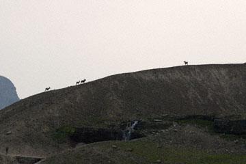 blog TAKE 91 Waterton Lakes NP, Logan Pass-Hidden Lake Nature Trail, Bighorn Sheep (Ovis canadensis), Canada_26614-8.2.07.jpg