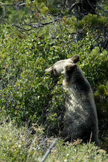 blog TAKE 92 Canada, Bear, Waterton NP, Cameron Lake, Bear_26747-8.2.07.jpg